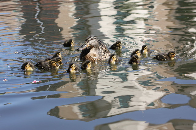 Mallard and 14 Ducklings!