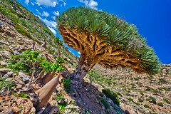 Homhill, garden full of bottles and dragon's blood trees, Soqotra Island, UNESCO, yemen (anthony pappone photography) Tags: pictures travel nature digital canon lens landscape island photography photo foto image picture natura unesco arab arabia adan yemen arabian fotografia bottletree paesaggio reportage photograher arabo yemeni phototravel yaman socotra soqotra arabie arabiafelix اليمن arabianpeninsula يمني 也門 سقطرى сокотра alyaman yemenpicture yemenpictures 索科特拉 ソコトラ सोकोट्रा dragonsbloodtrees