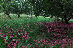 la cueillette des pommes (Eric Dupuis) Tags: trees canada tree fall apple leaves automne landscape photography photo eric photographie quebec north pommes orchard arbres apples applepicking paysage arbre picking nord feuilles pomme verger 2010 sthilaire dupuis cueillette montsainthilaire ericdupuis cueillir thebestofday gnneniyisi vergerduflancnord