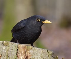 Male Blackbird (Danny Gibson) Tags: winter bird birds outdoors wildlife birding blackbird avian rspb maleblackbird birdphotography oxfordislandnaturereserve dgpixorguk
