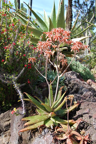 Aloe in bloom.