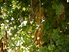Kavaskuili (Marathi: कवसकुइली) (Dinesh Valke) Tags: vine tropical climber shrub fabaceae tender picapica perennial peafamily papilionaceae gratter ojodebuey beanfamily legumefamily gratey mucunapruriens carpopogonpruriens dolichospruriens mucunaaterrima mucunacochinchinensis mucunaesquirolii mucunanivea mucunaprurita stizolobiumaterrimum stizolobiumdeeringianum stizolobiumniveum stizolobiumpruriens stizolobiumpruritum achariyapalle akangkangdangkulo akolchi chiporro juckbohne jukboontje kekaragatal kothca kramé kratzbohnen mamui mayueang mácmèo mucunaceniza ojodevenado poilàgratter poisgratter poispouilleux poisvelu yerepe kandura