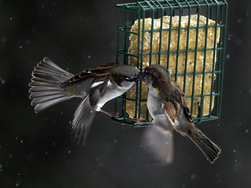 Suet Snow Sparrow Battle
