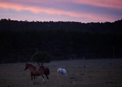110107-8926-jikatu (jikatu) Tags: sunset horse festival zeiss canon caballo uruguay atardecer jazz 100mm maldonado puntadeleste canon5dmkii yobino jikatu baikovicius