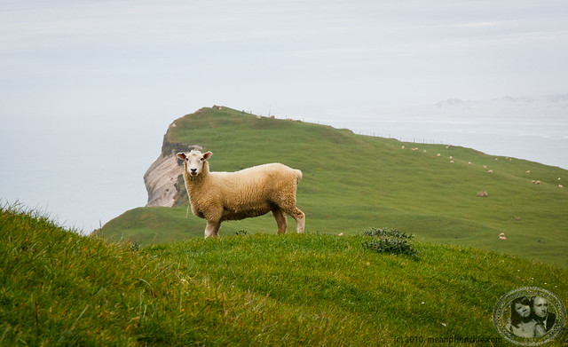 Gazing Sheep