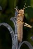 Tucura Quebrachera (Eutropidacris cristata) (Skoropada) Tags: giant insect paraguay 365 gigante insecto langosta grashopper cristata tucura quebrachera eutropidacris