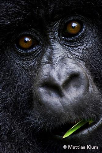 mountain_gorilla_5_Rwanda
