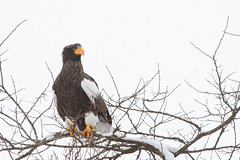 Stellers Sea Eagle atop a tree - Roadside eagle in Yakumo.