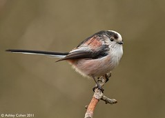 Long-Tailed Tit - Explored! (Front page) (Ashley Cohen Photography) Tags: winter bird nature flickr small britishwildlife longtailedtit northwales canon400mmf56l unitedkingdomuk canoneos7d rhydymwynvalleynaturereserve