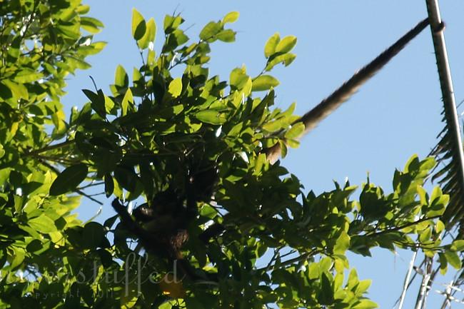 Spider Monkey Tail