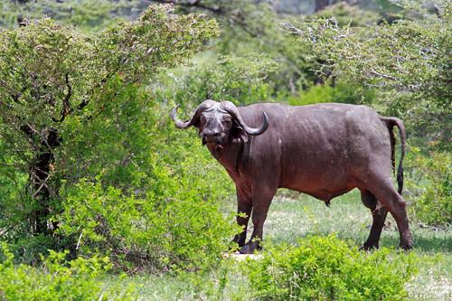 Bøffel i Selous
