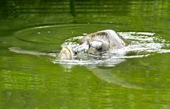 sea turtles (eatswords) Tags: water ecuador turtles mating seaturtles galapagosislands animalsmating