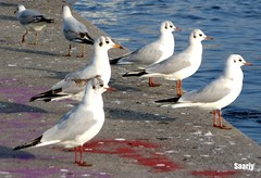 MY LOVELY SEAGULLS  ♥♥♥♥    ~ As if they are made with the same pattern.