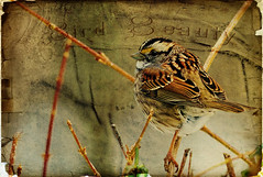 Sparrow in texture (Nancy Violeta Velez) Tags: two bird texture photography interesting flickr sparrow wildbirds phylumchordata jerryjones passeridae classaves playingwithbrushes tatot smallpasserinebirds shorttails shadowhousecreations 365workwithtextures oldfind1 sumansbirdsintexture poetrybypaullaurencedunbar sparrowintexture