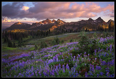 Tatoosh Summer (Mike Hornblade) Tags: summer rainier wildflowers lupine mazama tatoosh mtrainiernationalpark a850