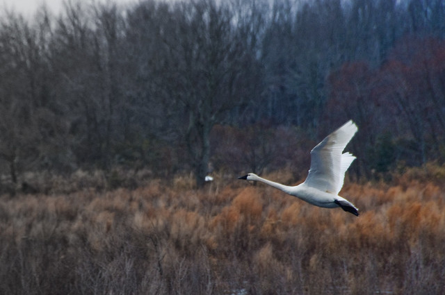 Swan In Flight 2