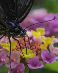 Butterfly_SAF0555-2 (sara97) Tags: butterfly copyright2016saraannefinke flyinginsect insect missouri nature outdoors photobysaraannefinke pollinator saintlouis towergerovepark urbanpark
