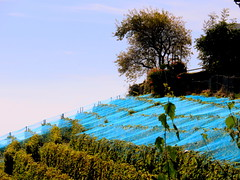 Blue netting (oobwoodman) Tags: switzerland suisse schweiz genfersee grandvaux lakegeneva lman lake lac lausanne lavaux grapes trauben raisins vendange harvest ernte