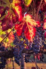 Colorful vineyards (tampurio) Tags: autunno autumn vineyards vineyard grapes colors foglie leaves collieuganei veneto italy italia ita italian landscape paesaggio paesaggi panorama vigneto vigne vigna grappolo uva colline hill hills euganei colli nikon d750