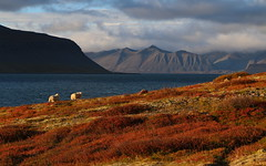 Haust  Fossfiri (h) Tags: fossfjrur arnarfjrur landscape fjord sheep autumn fall september 2016 westfjords vestfirir colors colours mountains clouds nature