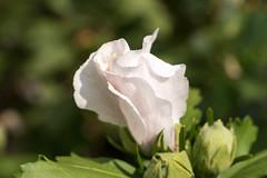 Keine Rose, sondern eine sich entfaltende weie Hibiskusknospe - Not a rose, but a white hibiscus bud unfolding (riesebusch) Tags: berlin garten marzahn