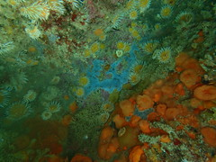 multicolour rocky reef (richie rocket) Tags: scillies seasearch scillyisles cornwall uk underwater scuba diving
