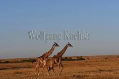 10077408 (wolfgangkaehler) Tags: 2016africa african eastafrica eastafrican kenya kenyan masaimara masaimarakenya masaimaranationalreserve wildlife grassland grasslands masaigiraffe masaigiraffegiraffacamelopardalis masaigiraffegiraffacamelopardalistippelskirchi giraffe giraffes eveninglight two twoanimals