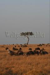 10078091 (wolfgangkaehler) Tags: 2016africa african eastafrica eastafrican kenya kenyan masaimara masaimarakenya masaimaranationalreserve wildlife grassland grasslands migration migrating antelope antelopes gnu wildebeestmigration wildebeest wildebeestherd wildebeests zebras plainszebrasequusquagga burchellszebra burchellszebraequusquagga burchellszebras