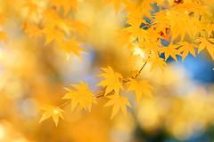 - Love maple leaves - Fushoushan Farm (prince470701) Tags: maple taiwan fushoushanfarm  sonya850 sony1635zaf18