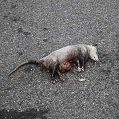 16379 (peterbaker) Tags: street possum animal dead opossum michigan detroit roadkill guts intestine