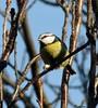 A Tasty Peanut Eaten in The Sunshine. (Church Mouse 07) Tags: uk november autumn tree bird lumix wildlife panasonic british 2010 inmygarden dmcfz28 churchmouse07 bluetiteatingapeanut naturewildbird