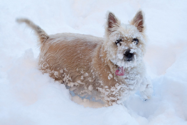 011210_ Pippin in the snow #3