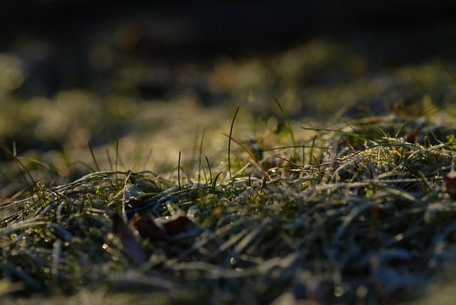 Nærbilde av gresstrå med frost