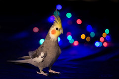 Party boy! (Kerli'sPhotography) Tags: christmas bird colors bokeh parrot cockatiel tiel