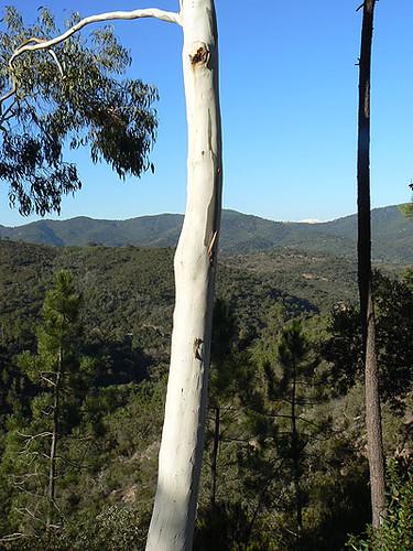 pins et eucalyptus.jpg