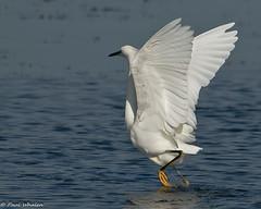 Snowy Egret 2 (Egretta thula) (Paul Whalen) Tags: usa bird birds texas birdsinflight aba southpadreisland snowyegret bif birdinflight egrettathula nikond300 slbtakeoff nikkor200400mmvrll