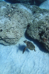 swimming (bluewavechris) Tags: ocean life blue sea brown green water animal coral swim hawaii sand marine underwater snorkel turtle reptile dive shell maui reef creature flipper