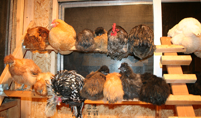 Backyard Chickens At Night : Silkies Who Roost at Night