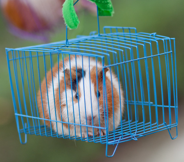 Guinea pig in a colorful cage