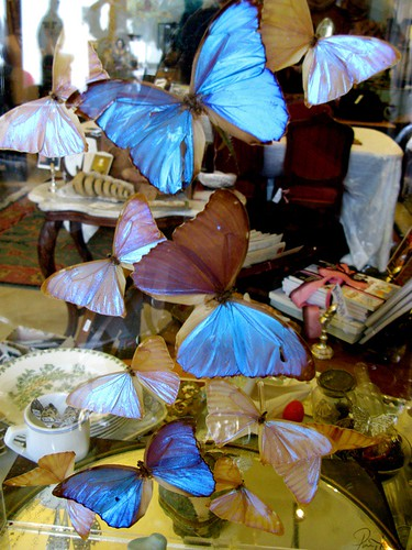 blue morpho flock