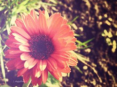 Reminiscing... (choppyRockspacking and moving!) Tags: old red orange sun daisies canon vintage garden photo lomo beam gerbera sunflower daisy asteraceae g11 choppyrocks