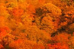 herbstwald (loop_oh) Tags: wood autumn fall forest germany deutschland leaf laub herbst blatt wald bume taunus baum baeume eppstein