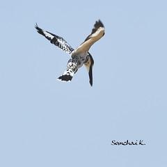 Pied Kingfisher (somchai@2008) Tags: piedkingfisher cerylerudis  thewonderfulworldofbirds qualitygold