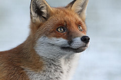 Looking Up (Dan Belton ( No Badger Cull )) Tags: uk autumn red wild snow mammal cub december native leicestershire wildlife fox kits cubs kit loughborough vulpesvulpes noalarmsandnosurprises bringdownthegovernmenttheydontspeakforus