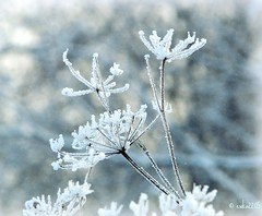 Wintry flowers (ewka2205) Tags: christmas winter snow bokeh hoarfrost meadow zima nieg hmb whitefrost ka szron ewka2205