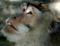 Monyet @ Monkey Forest, Ubud, Bali (Tempo Dulu) Tags: bali animal indonesia monkey kera ubud macaque monyet