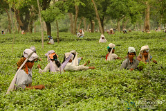 In the Fields - Tea Plantations in West Bengal, India (uncorneredmarket) Tags: people woman india tea teaplantation westbengal dpn teapicker
