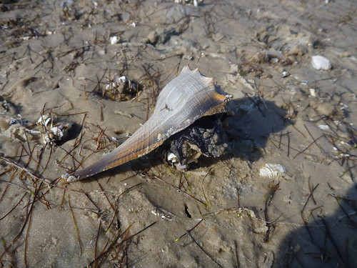 Lightning Whelk