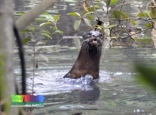 Smooth otter (Lutrogale perspicillata)