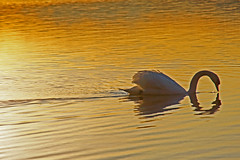 Swimming in Gold (dorena-wm) Tags: light lake gold golden see licht swan ngc schwan starnbergersee abendlicht mygearandmepremium mygearandmebronze mygearandmesilver mygearandmegold dorenawm mygearandmeplatinum mygearandmediamond ringexcellence
